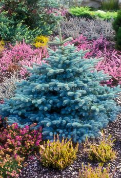 baby blue spruce planting guide